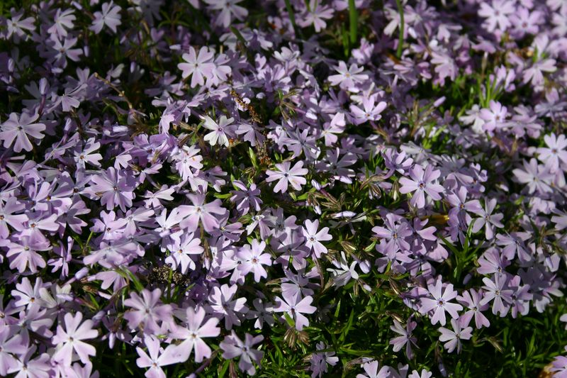 Purple ground cover close up